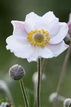 Anemone japonica flower close-up, local focus Imagens