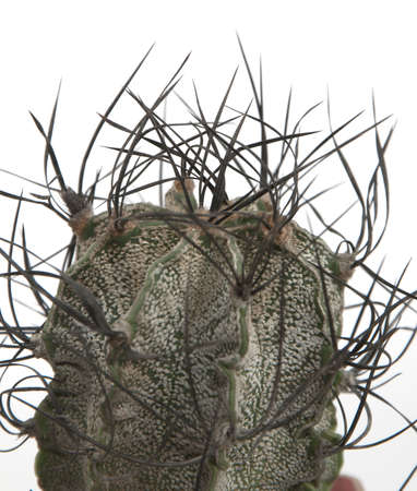 Astrophytum capricorne cactus close-up ower white background