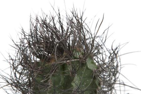 senile: Astrophytum senile cactus close-up ower white background Stock Photo