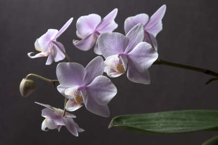 orchid house: Phalaenopsis orchid flowers on a gray background (butterfly orchid)