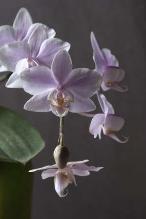 Phalaenopsis orchid flowers on a gray background (butterfly orchid) photo