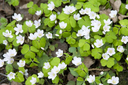 Wood Sorrel (Oxalis) flowers in spring, close-up photo