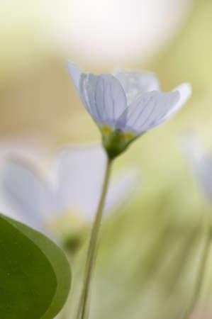 Wood Sorrel (Oxalis) flowers in spring, macro photo
