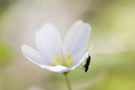 A Fly on a Wood Sorrel (Oxalis) flowers in spring, macro photo