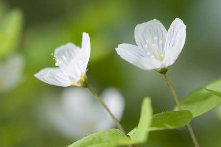 Wood Sorrel (Oxalis) flowers in spring, macro photo