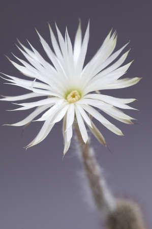 mirabilis: flowering cactus Echinopsis (Setiechinopsis) mirabilis