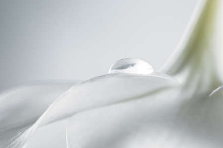 Amazon Lily petal with a water drop Stock Photo