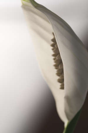 Spathiphyllum (peace lily) flower, close-up shot, local focus
