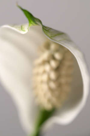 peace lily: Spathiphyllum (peace lily) flower part, close-up shot, local focus