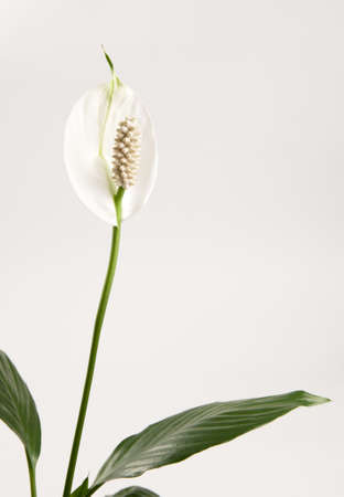 Spathiphyllum (peace lily) flower and leaf, close-up shot