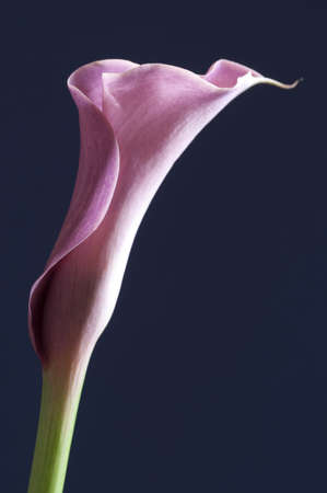 Pink Calla lily flower over a blue background photo