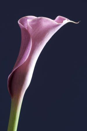 fleur arum: Rose fleur de lys calla sur fond bleu