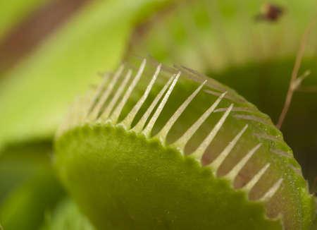 Venus flytrap leaf closed, macro shot, local focus