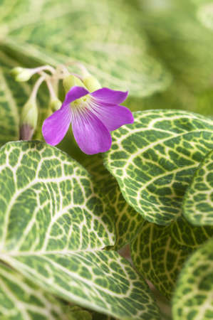 Oxalis martiana leaves and flower close-up, local focus Stock Photo - 13836729