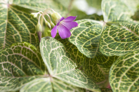 Oxalis martiana leaves and flower close-up, local focus Stock Photo - 13836728