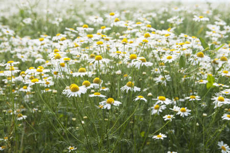 Field covered with white and yellow Ox-eye daisy flowers Stock Photo