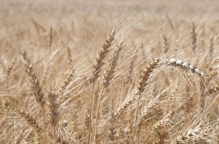 secale: Rye field with spikes ready to collect
