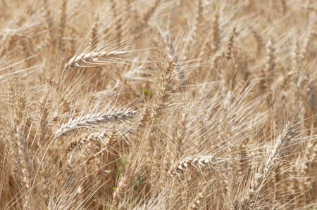 Rye field with spikes ready to collect Stock Photo - 14587380