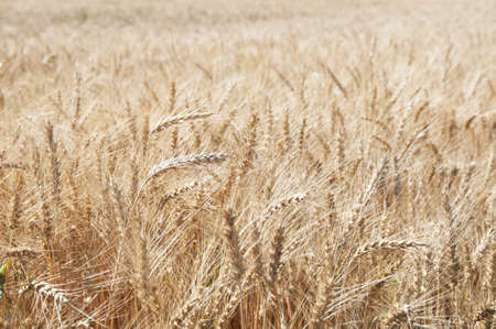Rye field with spikes ready to collect Stock Photo - 14587382