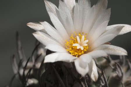 Flovering cactus from Turbinicarpus family, close-up photo