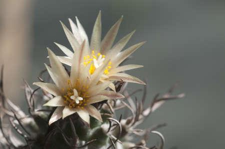 Flovering cactus Turbinicarpus flaviflorus, close-up photo