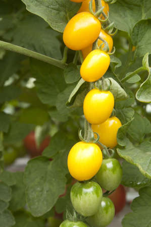 Yellow tomatoes in a greenhouse ready for harvesting