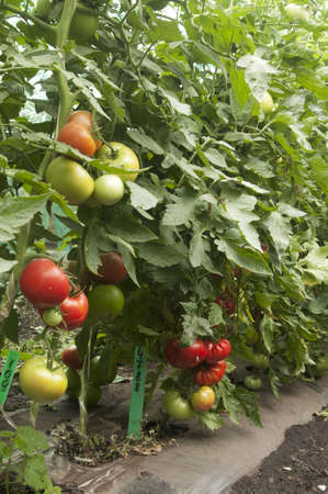Tomato plants in a greenhouse,  habit view