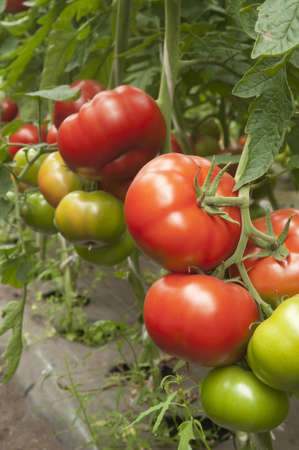 Red tomatoes in a greenhouse ready for harvesting