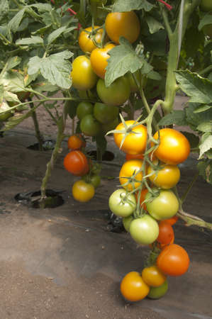 Orange tomatoes in a greenhouse ready for harvesting
