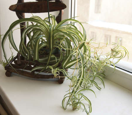 Chlorophytum (Spider Plant) on a wooden shelf on a window