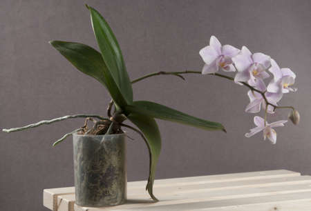 Phalaenopsis orchid on a grey background (butterfly orchid)