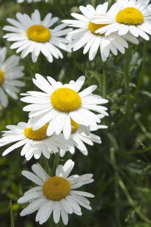 oxeye: Ox-eye daisy flowers on grass background Stock Photo