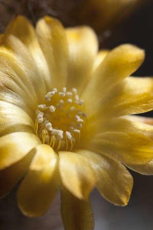 Flowering cactus from Sulcorebutia family, close-up