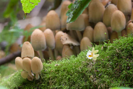 Yellow Mushrooms (Coprinus sp.) on a stump in a green moss Stock Photo