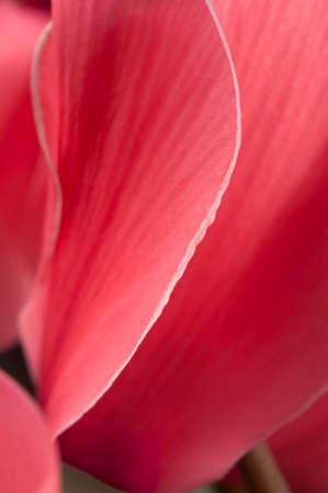 nervure: Flores de ciclamen, tiro de cerca de p�talos Foto de archivo