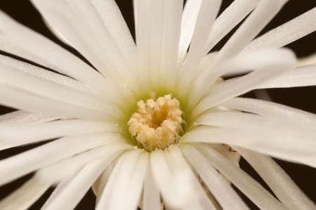 mirabilis: flowering cactus Echinopsis (Setiechinopsis) mirabilis, macro shot Stock Photo