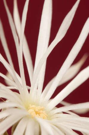 mirabilis: Fioritura cactus Echinopsis (Setiechinopsis) mirabilis, macro shot Archivio Fotografico