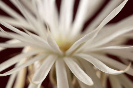 mirabilis: Flowering cactus Echinopsis (Setiechinopsis) mirabilis, macro shot