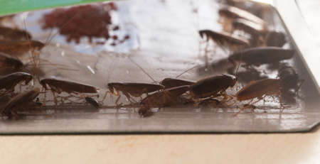 Cockroaches in glue trap, closeup shot, local focus