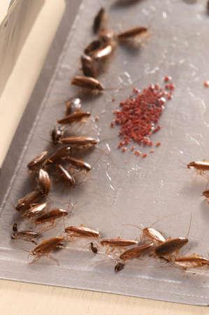 Cockroaches in glue trap, closeup shot, local focus