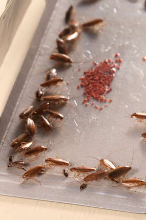 allurement: Cockroaches in glue trap, closeup shot, local focus
