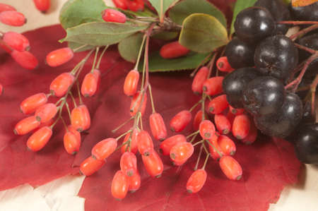 barbery: Barbery and black chokeberry on a red autumn leaf, closeup shot