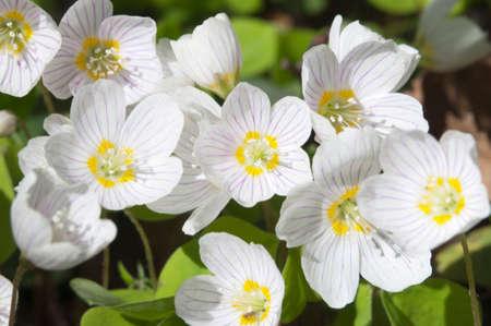 wood sorrel: Alaz�n de madera (Oxalis) flores en primavera, primer plano Foto de archivo