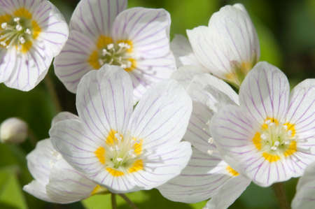 wood sorrel: Wood Sorrel (Oxalis) flowers in spring, close-up