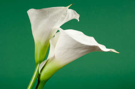light green background: Calla lily flowers on a light green background