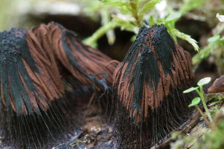 Champignons (Myxomycetes Stemonitis fusca) sur un vieil arbre tombé, macro shot Banque d'images - 41240571