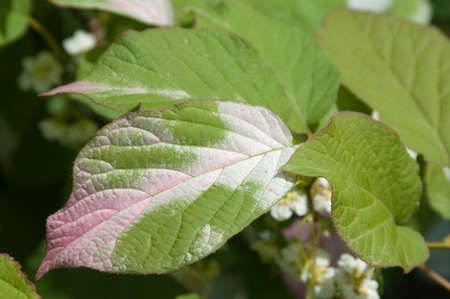 Actinidia kolomikta leaves, characteristic colouring, closeup