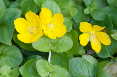 grass close up: Lysimachia nummularia (moneywort, twopenny grass), close up shot Stock Photo