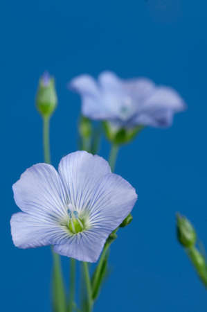 linum usitatissimum: Flax (Linum usitatissimum) flowers over a blue background, close up shot, local focus