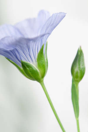 linum: Flax (Linum usitatissimum) flowers over light background, close up shot, local focus